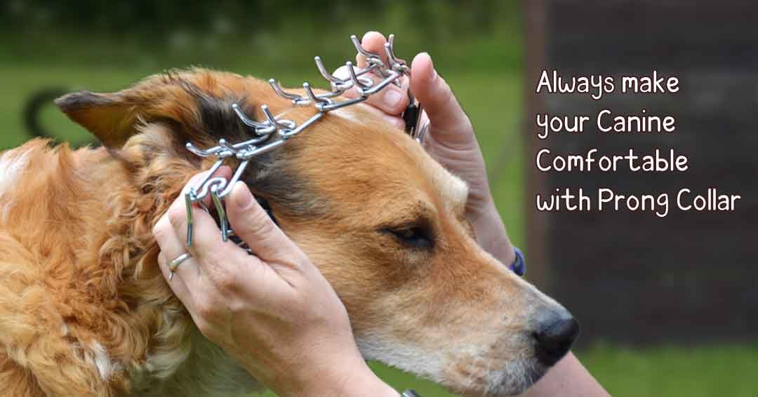 Always make your canine comfortable with prong collar