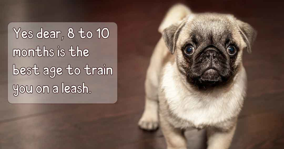 yes dear 8 to 10 month is the best age to train you on a leash