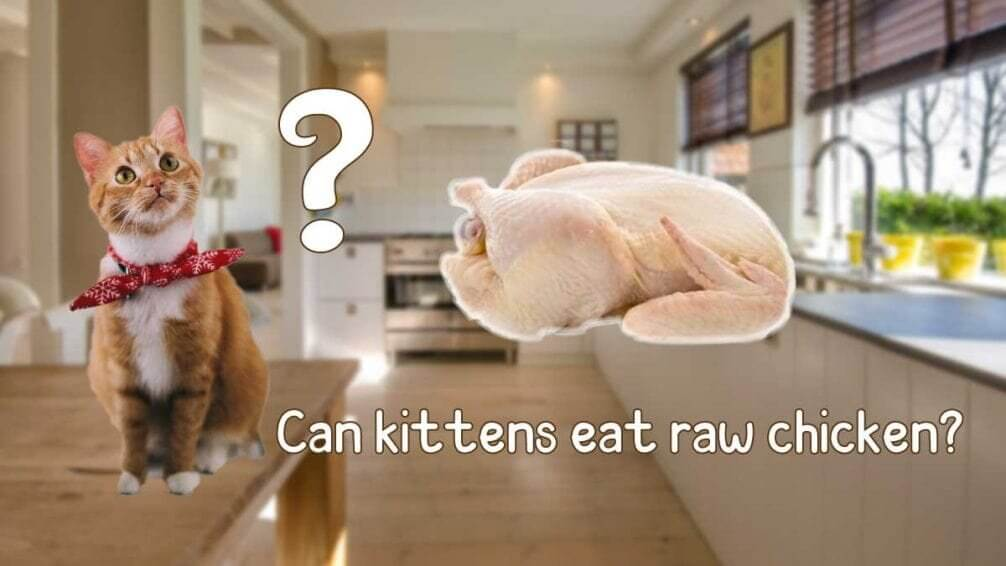 can kittens eat raw chicken