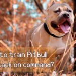 How to train Pitbull to attack on command