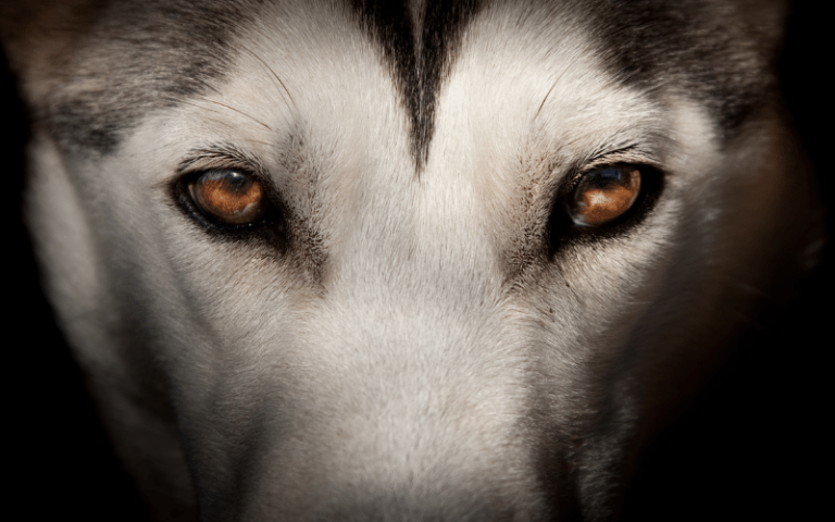 15 Wolf Dog Breeds: A Complete Guide & Essentials